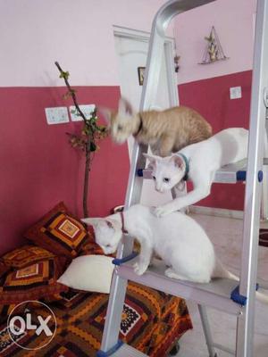 Cats (1 white male, 1 white female, 1 brown)