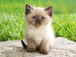 Colour. Persian kitten for sale in all India