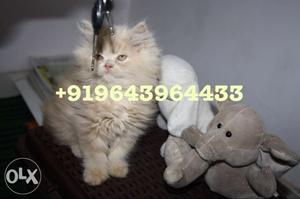 Furry Persian Kittens and Cats Available for
