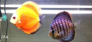High quality discus fish for sale total 5 in no