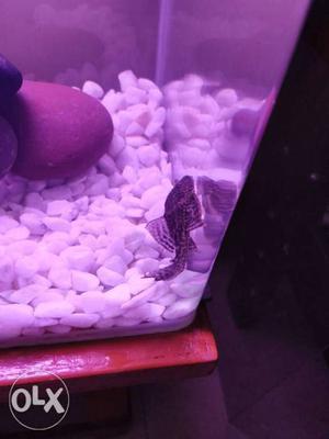 Plaeco fish,algae eater..