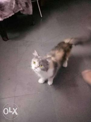 Female persian cat 16 months old ready for mating