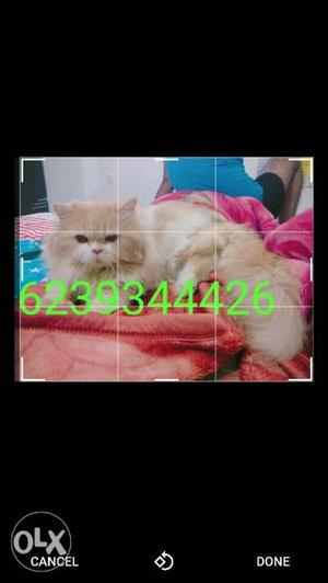 No cost 1 year male parishion cat ready for her first meet