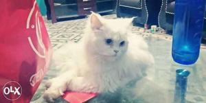 One year old persian cat very active and Healthy