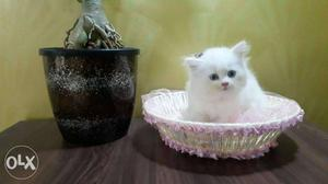 Cute and healthy Persian kittens available
