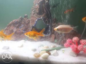 Gold fish-4 pair=240 black gold fish 1 pair=80