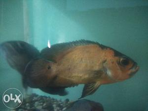 Oscar fish for sale in chennai. It's 100%breeding