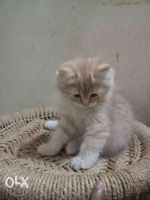 Playfull and active Persian kittens available