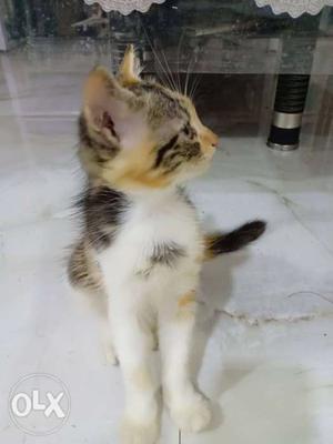 Short-haired Tricolor Kitten
