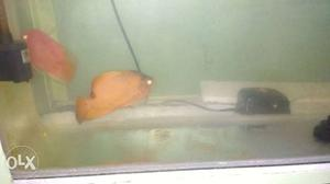 Tow pice parrrot fish ine pic big and one. pic