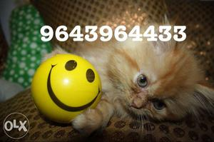 Trained import Lineage Persian Kittens. All types