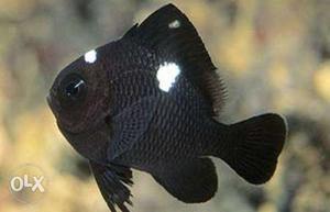 1.5'' three spot damsel fish