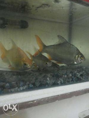 1 pair of big Tinfoil Barbs, 1 pair of bala shark