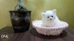 Cute or playfull baby persian cats kitten sale in