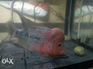 Flowerhorn fish with good hump & very active