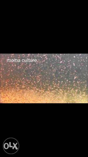 Moina culture for guppies and Betta (including
