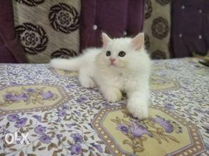 Percian avilable all types kittens.