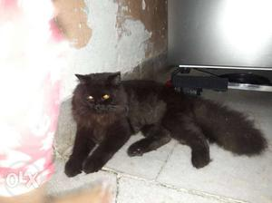 Persian cat male ready for mating. i dont want to