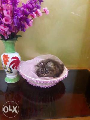 Brown and white fur ball persian kittens available
