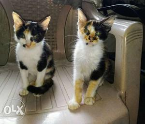 Cute little semi Persian Kittens available for