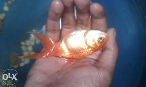 Good quality gold fish for sale.