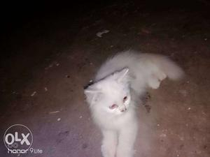 Long-haired White female pearsian cat