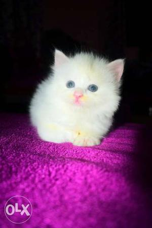 Persian kittens of 40days Good fur quality White and Tabby