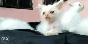 Punch face new born kitten pure white