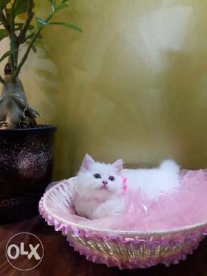 White and grey persian kittens available