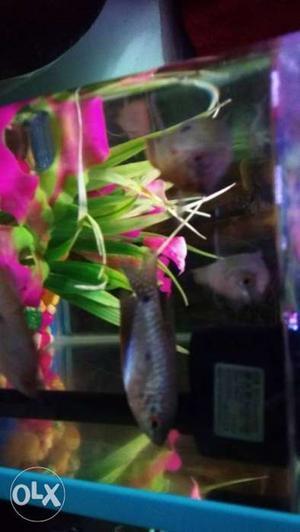 7 Gourami three spot fishes at just 350 rupees