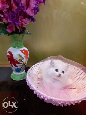 All.colors cute baby Persian cats kitten sale all.india