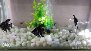 Angel fish two pair big size active