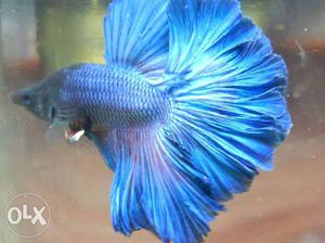 Betta best quality. each at RS 150