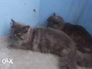 Furball and active Persian kittens available