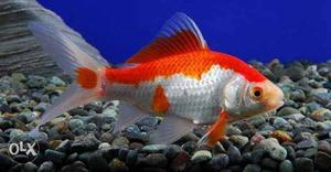 Gold fish 1 pair 300rs White red gold fish 1 pair