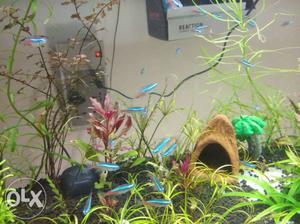 Neon tetras for planted aquarium pair 50rs