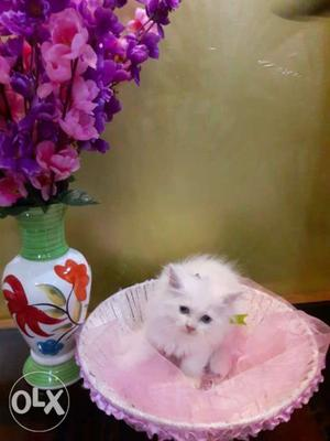 Pure breed Persian cats kitten sale all India any