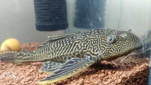 Aquarium Algae Eater Pair - Brocaded Pterygoicht