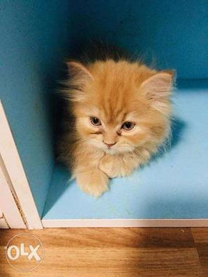 So so so so cute Persian kitten for sale cash on