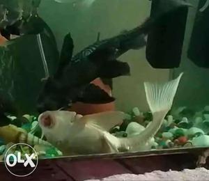 Black and yellow placko fish.