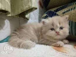 Persian kittens available here call me