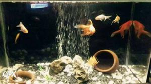 One feet fish tank with 4 pair gold fish at just