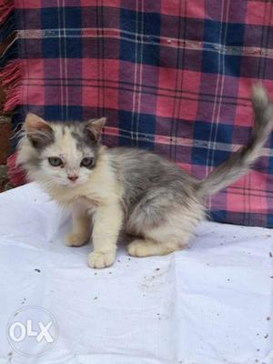 Persian kittens for sale near tirupati 2 male and