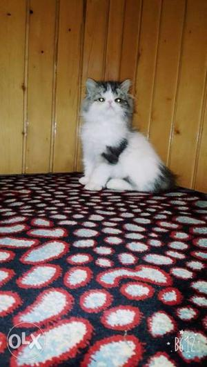 Pure persian healthy active and trained kittens available
