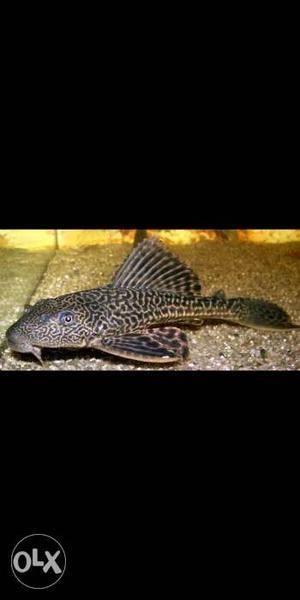 Algae Eater Crocdile fish