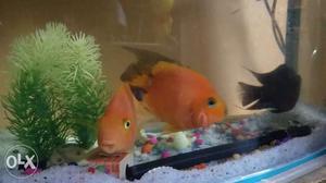 Aquarium Fishes.1)Parrotred and black