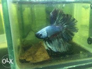 Betta fish for sale feather tail bettas balck
