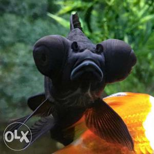 High quality black more Goldfish available at