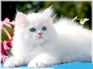 Pure white and Orange Persian kittens available.