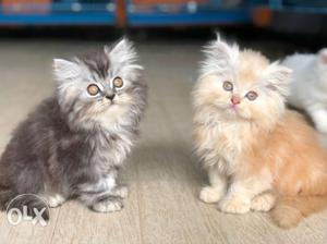 Two Gray And Orange Persian Kittens each kitten